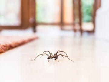 Plagas de arañas en las casas australianas