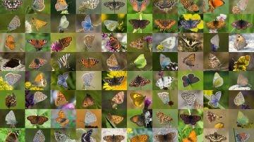Mariposas europeas