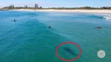 Tiburón en una playa de Sidney