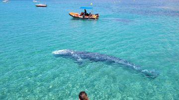 Avistamiento de la ballena gris apodada 'Wally' en Mallorca