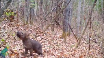 Así es el enternecedor aullido de una cría de lobo para comunicarse con los de su especie