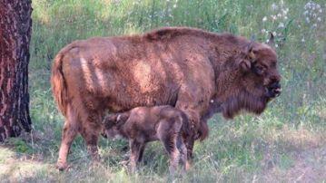 Naceel primer bisonte europeo andaluz en la Sierra de Andujar, Jaén