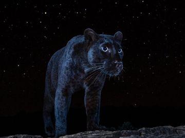 Pantera negra avistada en África