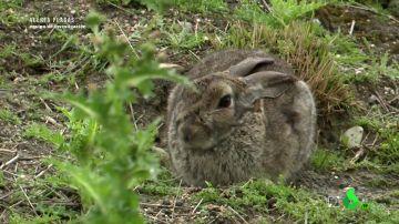 """Los conejos, responsables del mayor brote de leishmaniosis en humanos de Europa: """"Creí que me moría"""""""