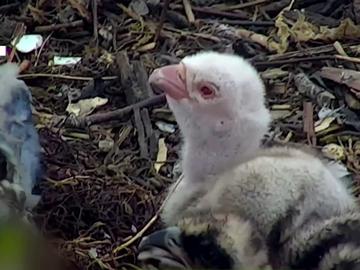 Imagen de una cría de águila pescadora albina