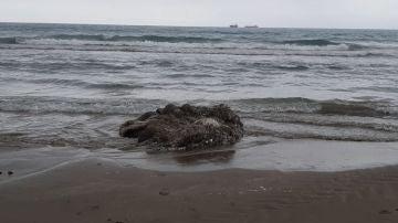Imagen del calamar gigante aparecido en la playa del Gurugú de Castelló