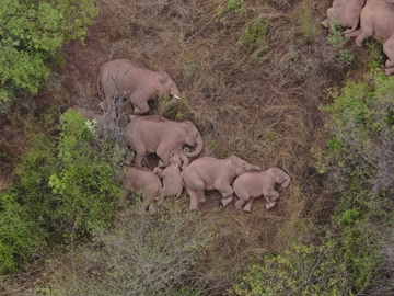 Una manada de elefantes descansa en la ruta migratoria hacia China