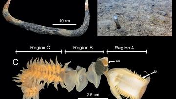 Un tipo de gusanos marinos lucha por el control del territorio ante su huesped