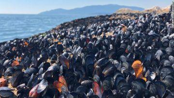 Mejillones muertos en la playa de Lighthouse Park, en Vancouver (Canadá)