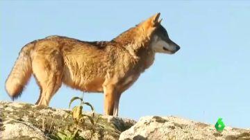 Cantabria autoriza la caza de 34 lobos pese a la orden de protección del Ministerio para la Transición Ecológica