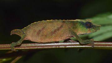 Hallan en Malaui un raro camaleón que se creía extinto en la naturaleza