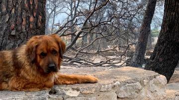Un perro desolado tras un incendio en la isla de Eubea.