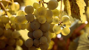 La vendimia se adelanta en Galicia para evitar la maduración excesiva de la uva