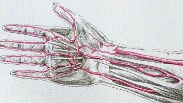 La evolución de los seres humanos: un grupo de expertos advierte de la aparición de una arteria extra en el brazo
