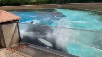 El vídeo de la angustia de una orca cautiva
