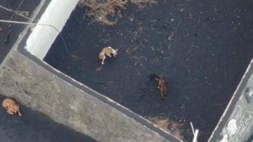 Rescate de los perros atrapados por la lava en La Palma