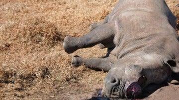 Un rinoceronte cazado para quitarle el cuerno