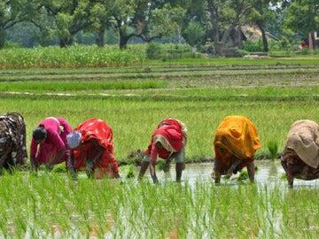 Varias mujeres en un campo de arroz en la India