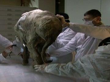 Restos de un fósil de mamut
