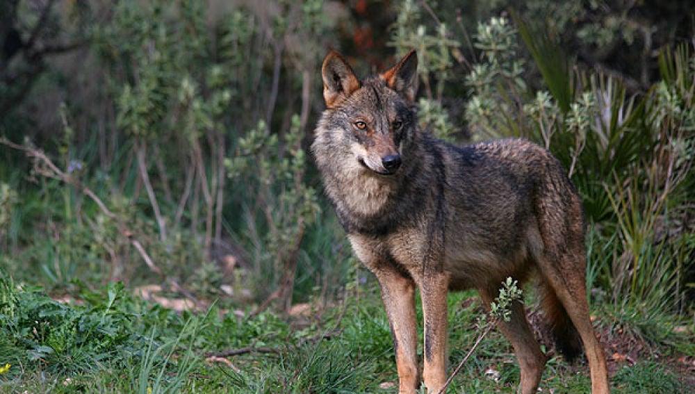 Un ejemplar de lobo ibérico