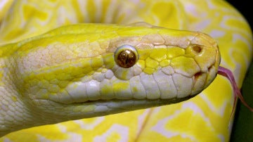 Primer plano de una serpiente pitón