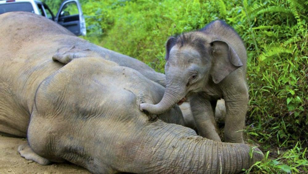 Elefantes pigmeos aparecen muertos en la isla de Borneo (30-01-2013)