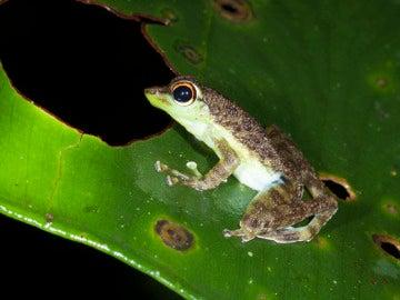 La rana de río más adherente