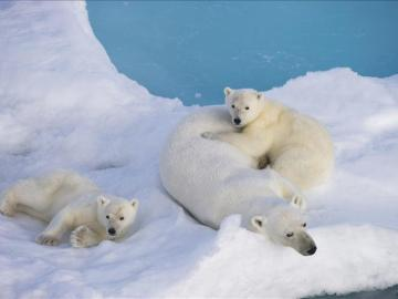 Osos polares en el Círculo Polar Ártico