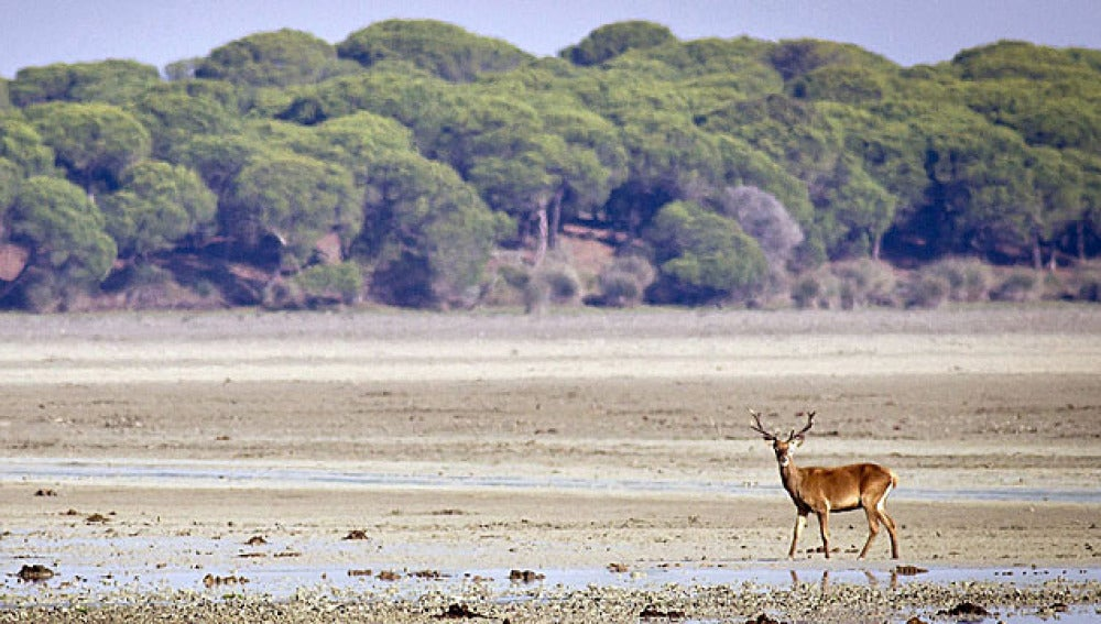 Un ciervo se pasea por un espacio abierto en el parque de Doñana