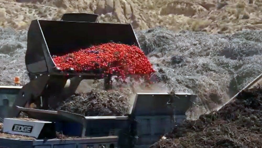 Millones de kilos de tomates se tiran diariamente en Almería