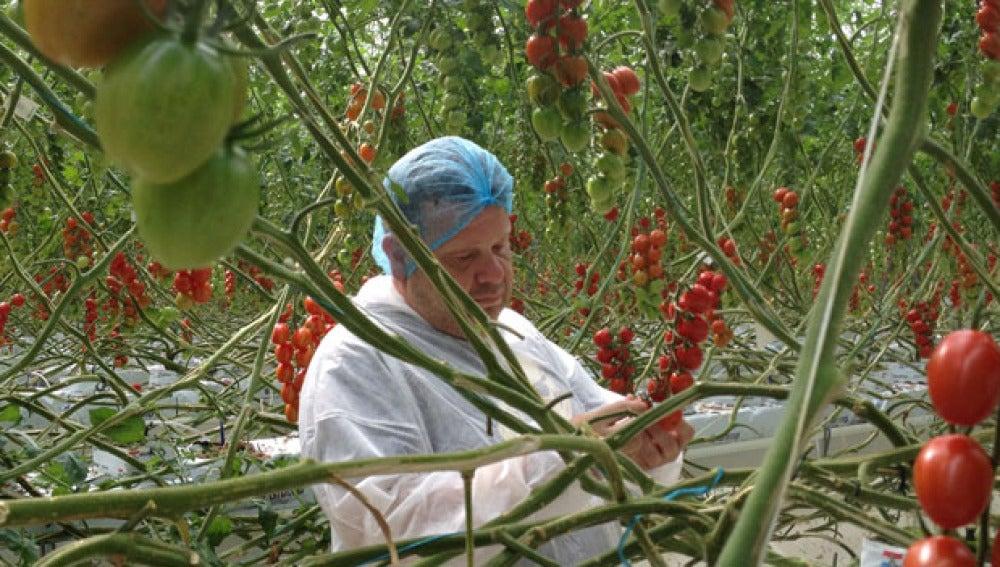 Alberto Chicote, en el invernadero de tomates de Holanda