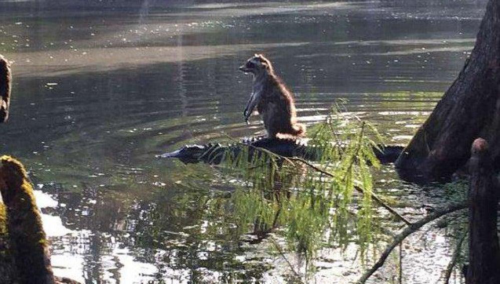 Mapache cruzando el río