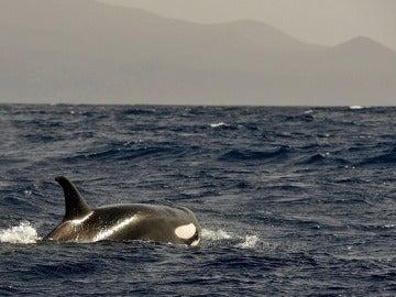 Imagen de una orca