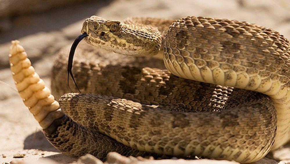 Imagen de una serpiente de cascabel.