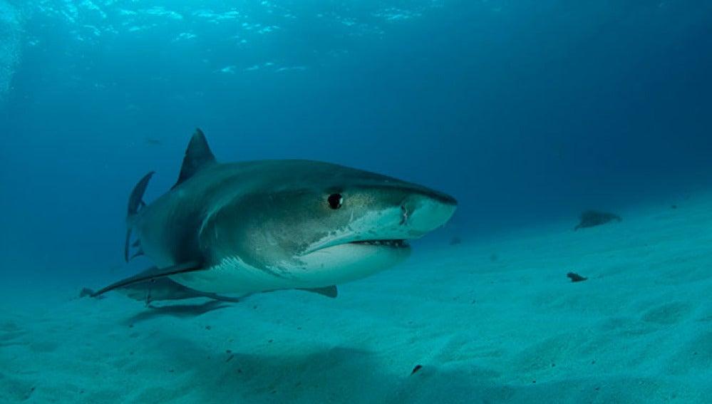 Emplean ecografías para estudiar a los tiburones sin necesidad de sacrificarlos
