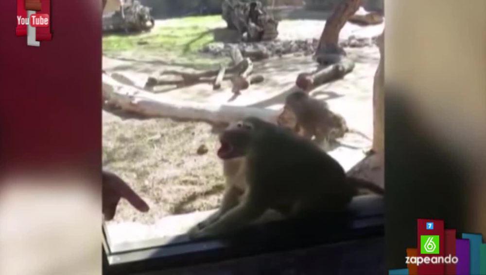 Así reacciona un mono ante un truco de magia