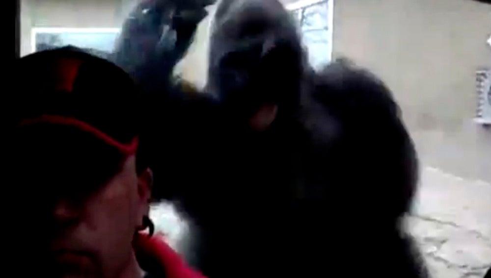 Imange del momento en el que gorila se lanza contra el cristal