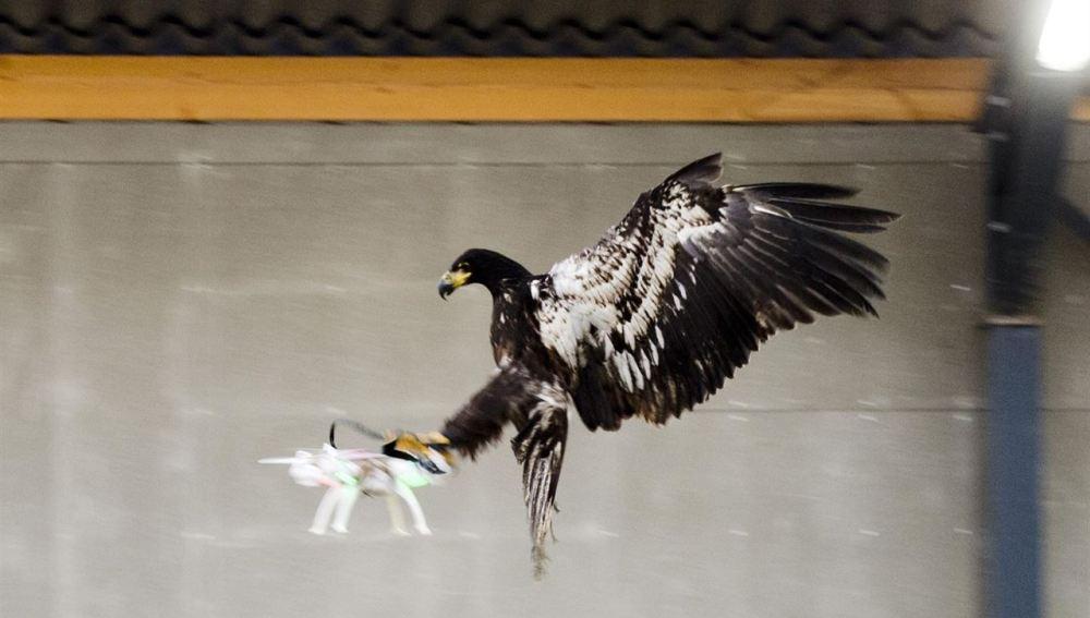 Águila capturando un dron