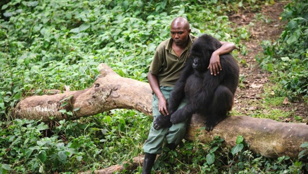 El pequeño gorila busca consuelo en un guardia forestal