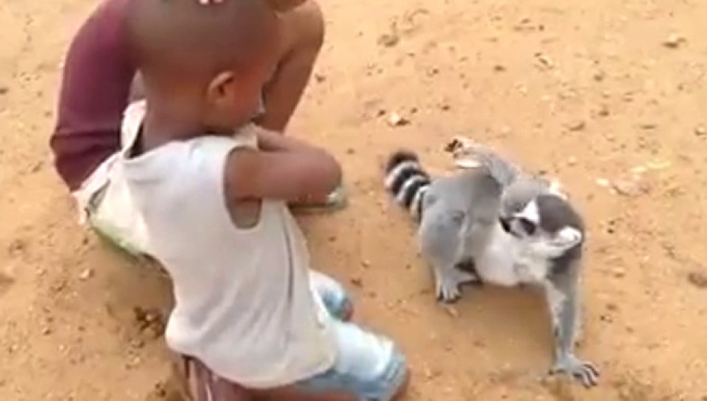 Imagen del momento en el que lémur pide que le rasquen