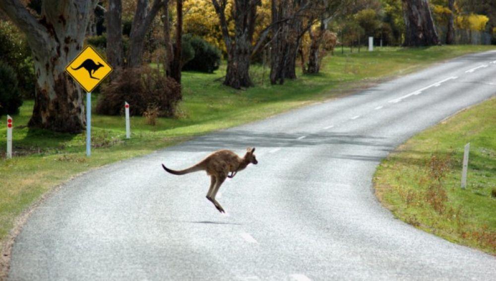 Un canguro cruzando la carretera