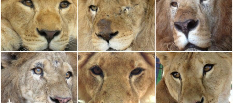 El viaje hacia la libertad de 33 leones rescatados tras ser maltratados en circos