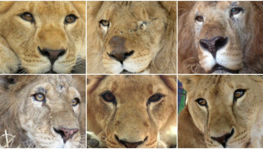 Seis de los 33 leones rescatados en circos que viajarán a África