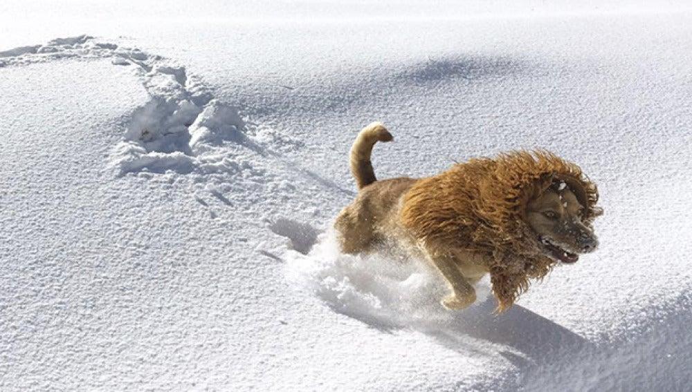 Perro con apariencia de león corriendo en la nieve