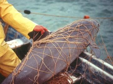 Una vaquita marina atrapada en las redes de pescadores locales