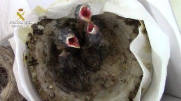 Varias de las crías de ave incautadas por la Guardia Civil
