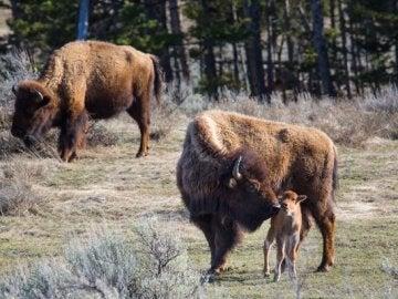 Un grupo de bisontes en el parque de Yellowstone
