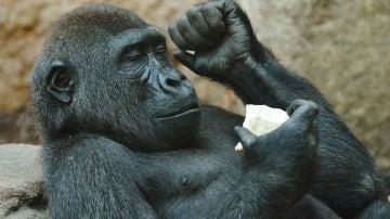 Observan por primera vez gorilas hembra homosexuales
