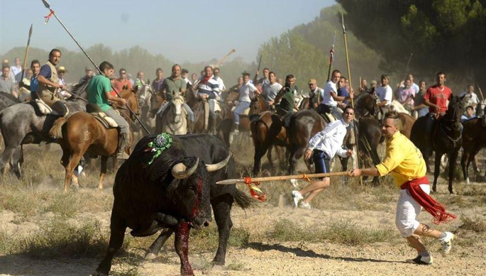 Toro siendo lanceado durante la fiesta del Toro de la Vega