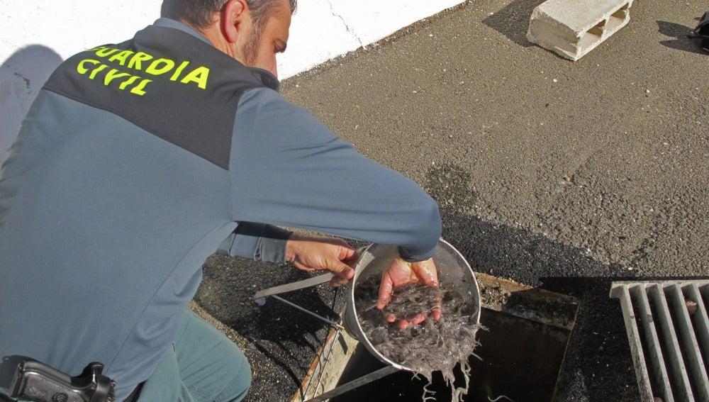 Operación  que desarticuló una red para legalizar la venta de angulas pescadas de forma irregular.